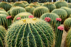 De sferische cactus Stock Afbeelding