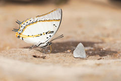 De Shan Nawab-vlinder Royalty-vrije Stock Fotografie