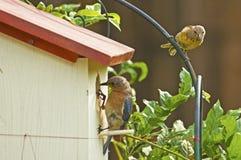 De sialia controleren haar nest terwijl Goldfitch eruit ziet Royalty-vrije Stock Afbeelding