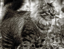 De Siberische kat Royalty-vrije Stock Afbeelding
