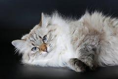De Siberische kat van het kleurenpunt Stock Foto's