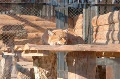 De Siberische lynx Stock Fotografie