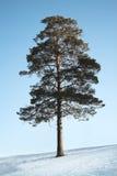 De Siberische pijnboom stock afbeeldingen