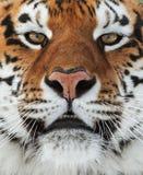 De Siberische tijger Royalty-vrije Stock Afbeeldingen