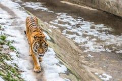 De Siberische tijger, riep ook de Amur-tijger, gangen rond het vogelhuis op een de winterdag royalty-vrije stock afbeeldingen