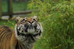 De Siberische Tijger (van Amurian), sumatrae van Panthera Tigris, die omhoog eruit zien Royalty-vrije Stock Afbeeldingen