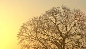 De silhouet majestueuze boom met idyllische zonsondergang bij schemer en duidelijke hemelachtergrond Silhouet van donkere boomtak stock footage