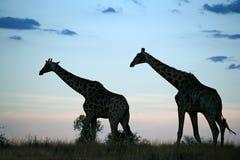 De silhouetten van de giraf stock fotografie