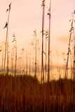 De Silhouetten van het riet stock afbeelding
