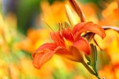 De sinaasappel bloeit lilly lelies openlucht Royalty-vrije Stock Foto