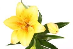 De sinaasappel bloeit lilly op witte B royalty-vrije stock foto