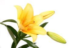De sinaasappel bloeit lilly op witte B stock foto