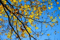 De sinaasappel en geel van de herfstbladeren tegen een blauwe hemel wordt gegoten die Royalty-vrije Stock Foto