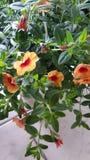 De sinaasappel hangt bloemen Stock Fotografie