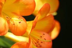 De sinaasappel hightlighted bloem Stock Afbeelding