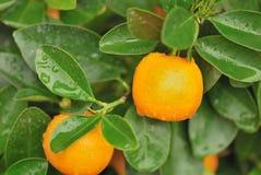 De sinaasappel van Calamondin Stock Afbeelding