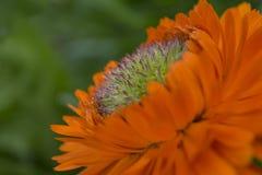 De Sinaasappel van Calendulaofficinalis Greenheart Royalty-vrije Stock Afbeelding