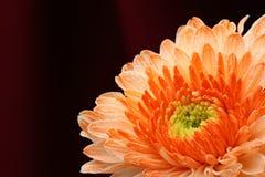 De sinaasappel van de chrysant. Stock Afbeeldingen