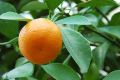 De Sinaasappel van de Citrusvrucht van Calamondin stock foto's