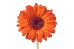 De sinaasappel van Gerbera Stock Foto's