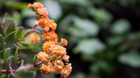 De sinaasappel van Kalanchoeblossfeldiana royalty-vrije stock afbeeldingen