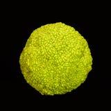 De Sinaasappel van Osage Stock Afbeeldingen