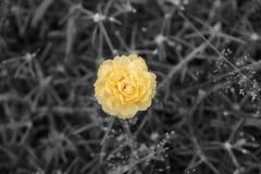 De sinaasappel van de vlekkleur op zwart-witte beelden, gele of oranje portulaca grandiflora bloem stock fotografie