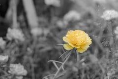 De sinaasappel van de vlekkleur op zwart-witte beelden, gele of oranje portulaca grandiflora bloem royalty-vrije stock afbeelding