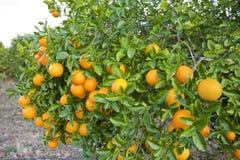 De sinaasappelbomen van Valencia Stock Fotografie