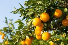 De sinaasappelbomen van Valencia Royalty-vrije Stock Fotografie