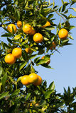 De sinaasappelbomen van Valencia Stock Foto