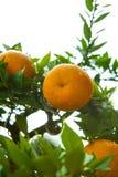 De sinaasappelen, Chinees favoriet fruit, bidden voor gunstig, gunstig stock foto's