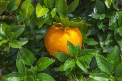 De sinaasappelen, Chinees favoriet fruit, bidden voor gunstig, gunstig royalty-vrije stock foto's