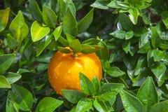 De sinaasappelen, Chinees favoriet fruit, bidden voor gunstig, gunstig royalty-vrije stock foto
