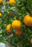 De sinaasappelen, Chinees favoriet fruit, bidden voor gunstig, gunstig royalty-vrije stock fotografie