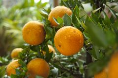 De sinaasappelen, Chinees favoriet fruit, bidden voor gunstig, gunstig royalty-vrije stock afbeeldingen