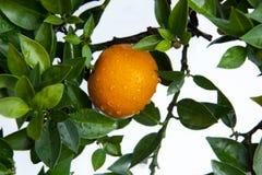 De sinaasappelen, Chinees favoriet fruit, bidden voor gunstig, gunstig stock afbeelding