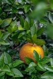 De sinaasappelen, Chinees favoriet fruit, bidden voor gunstig, gunstig stock foto