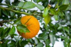 De sinaasappelen, Chinees favoriet fruit, bidden voor gunstig, gunstig royalty-vrije stock afbeelding