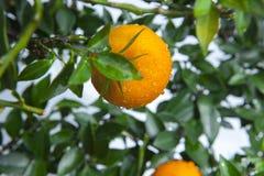 De sinaasappelen, Chinees favoriet fruit, bidden voor gunstig, gunstig stock fotografie