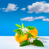 De sinaasappelen met oranje bloesem bloeit blauwe hemel Royalty-vrije Stock Foto