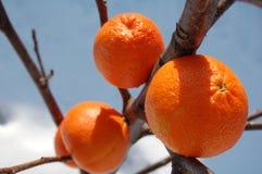 De sinaasappelen van het ijs Stock Foto