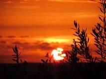 De sista strålarna av solen kysser olivträden - den Sicilien solnedgången Arkivbild