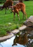 De Sitatungaantilope wordt weerspiegeld in de watervijver Royalty-vrije Stock Afbeeldingen