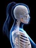 de skeletachtige hals van een vrouw royalty-vrije illustratie