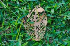 De skeletachtige overblijfselen van een mooi blad, detaillerend zijn verslechtering en bederf, terwijl het voeden van zijn grasri stock foto's