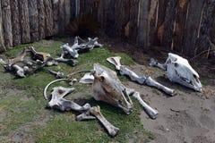 De skeletten van dieren bij de onderzoekpost in de Golf van Inutil Stock Fotografie