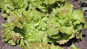 De Sla van Batavia, Lactuca sativa var capitata Stock Foto's