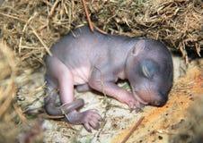De slaap van de babyeekhoorn in een nest royalty-vrije stock afbeeldingen