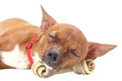 De slaap van Chihuahua met dogbone Royalty-vrije Stock Foto's